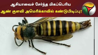 ஆசியாவைச் சேர்ந்த மிகப்பெரிய ஆண் குளவி அமெரிக்காவில் கண்டுபிடிப்பு! | Wasp