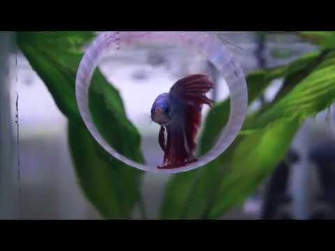 Betta Fish Tank Cleaning