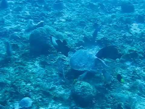 Sea Turtle Grazing w/ Friends