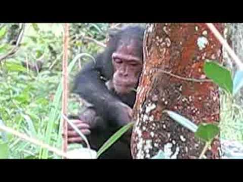 Chimpanzee Research in Tanzania