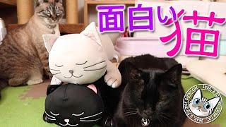 面白兄妹猫ジャンくんとポンちゃんは仕上がってます【Jean & Pont 2517】2021/6/15 保護猫ジャンけんポン