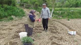 Bağ bahçe karpuz, kavun  domates, biber fidesi dikimi