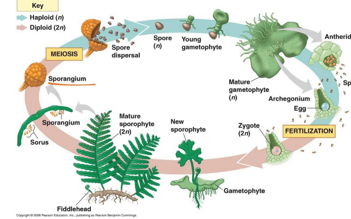 hight resolution of fern life cycle youtube algae spore diagram spore structure