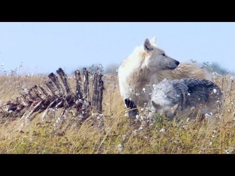 Starving Wolves Go On The Hunt | BBC Earth