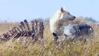 Starving Wolves Go On The Hunt | BBC Earth thumbnail