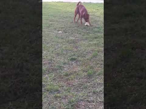 Buddy plays fetch with coconut