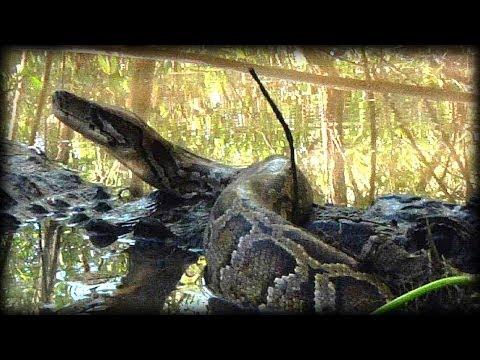 Alligator Attacks Python 09   Music