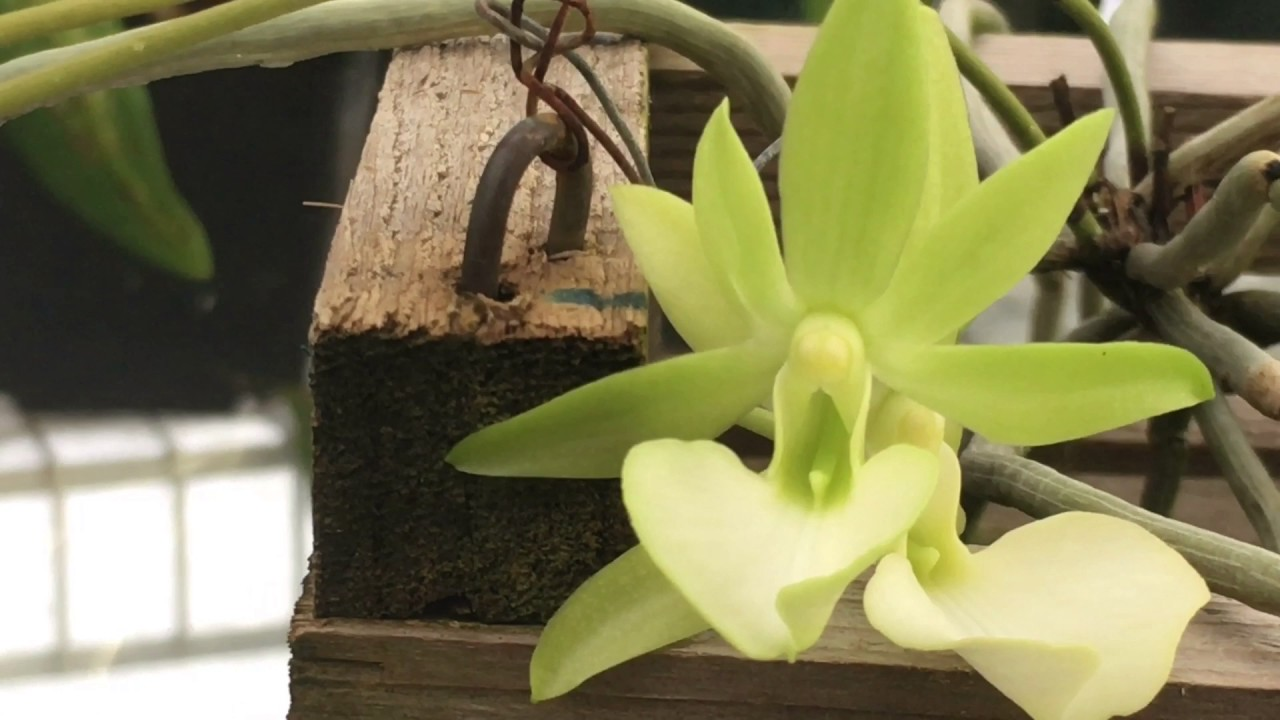 Leafless Ghost Orchid In Bloom My Care And Culture Tips