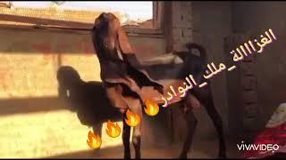 النوااادر عند الحج رمضان عبيه ..طنطا عاصمة النوادر✌️