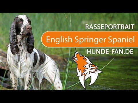 English Springer Spaniel [2019] Rasse, Aussehen & Charakter
