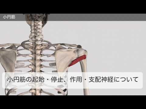 神経 麻痺 腋窩 腋窩神経と三角筋・小円筋(外側腋窩隙を通過)