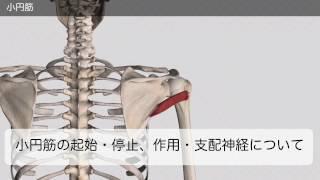 小円筋の起始・停止・作用・支配神経 (音声無し)