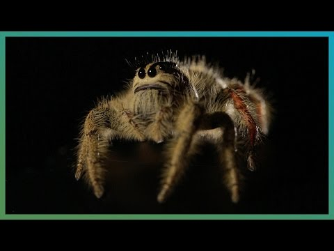Worlds Biggest Jumping Spider In Slow Motion | Earth