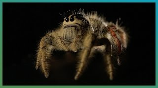 Worlds Biggest Jumping Spider In Slow Motion - Earth Unplugged