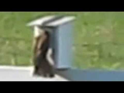 Kestrel Raids Bluebird Nest Box