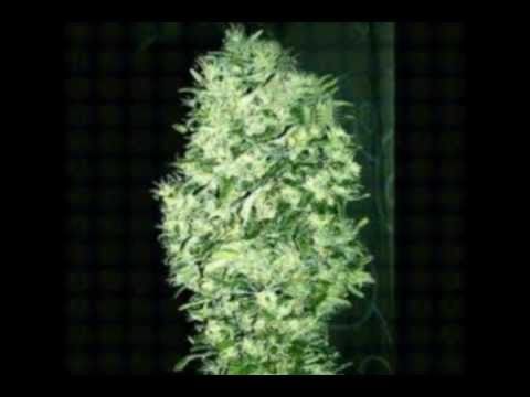 LCN - a fű termesztése