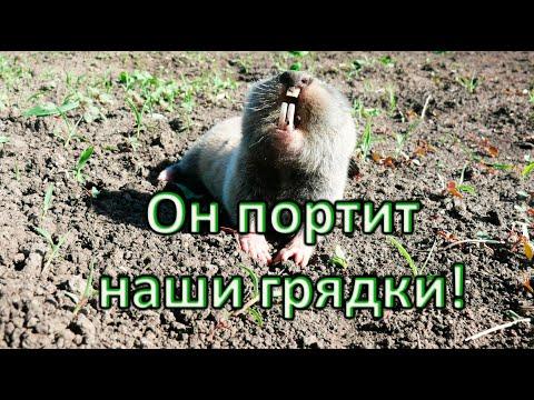 Крот на огороде: как вывести вредителя? / Ловили крота, поймали слепыша! #крот #слепыш #вредитель