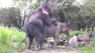 elephant mating
