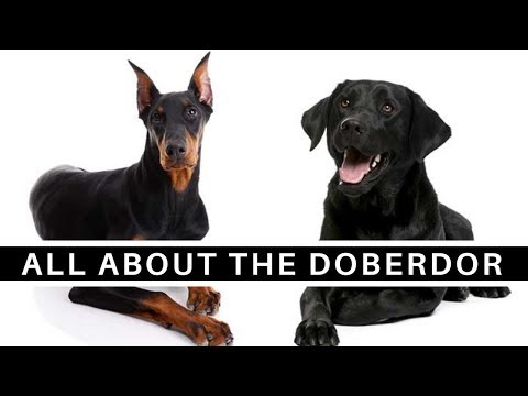 All About The Doberman Lab Mix (Doberdor)