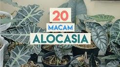 Jenis-jenis Tanaman Hias Alocasia / Alokasia