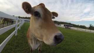Extreme GoPro Cow