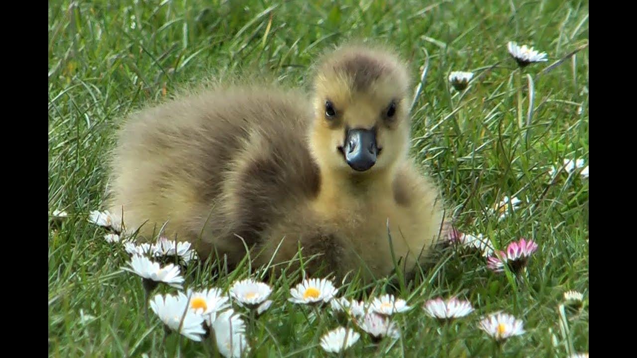 geese cute chicks canada