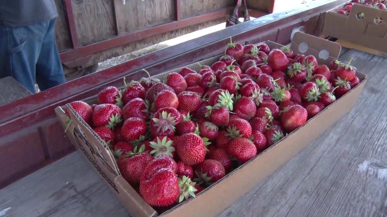 906 Outdoors Pellegrini Strawberry Farm Plants In The Woods Youtube