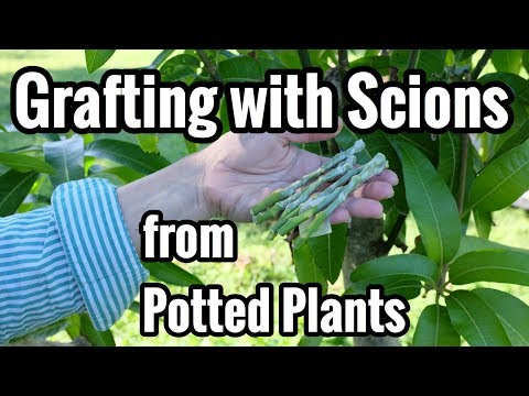 Grafting with Scions from Potted Plants