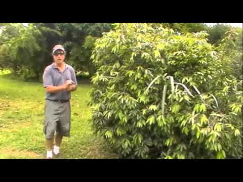 Tropical Fruit Landscaping Design Ideas: Myrtle Family