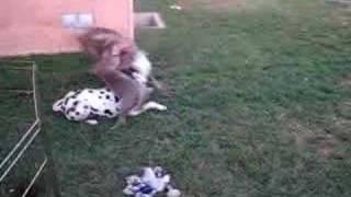 Weimaraner Pup & Friends Play