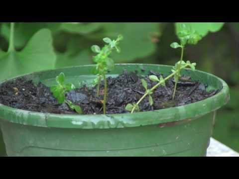 How to Propagate Thyme