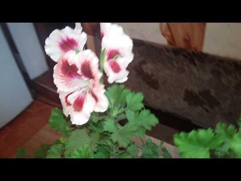 Почему не цветет королевская пеларгония и как добиться ее цветения.