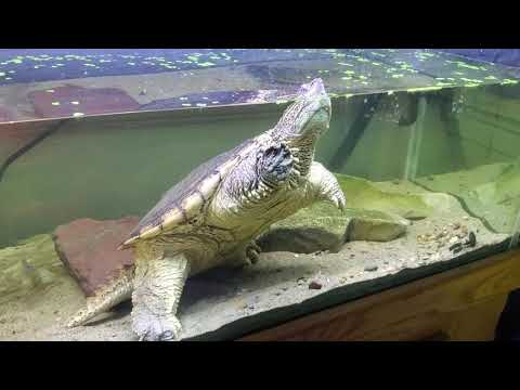"""turdy""-the-snapping-turtle,-tank-setup-update!"
