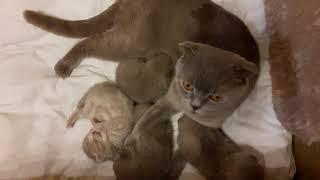 Шотландские котята открывают глазки