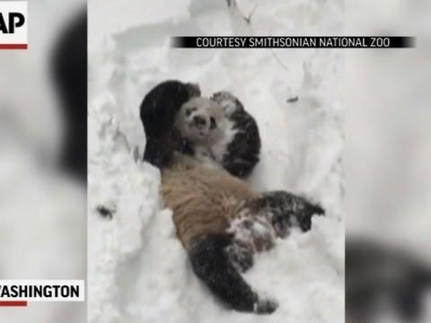 Giant Panda Tian Tian Frolicks in Snow