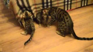 Бенгальские котята на заказ 8-913-353-4531