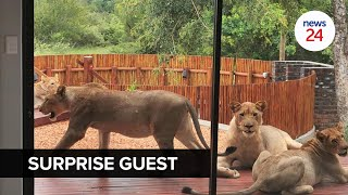 WATCH   There are lions on my stoep! Man comes home to find uninvited guests lounging on the patio