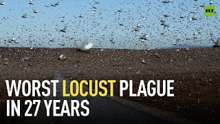 Worst outbreak in 27 years   Swarms of locusts threaten food supply