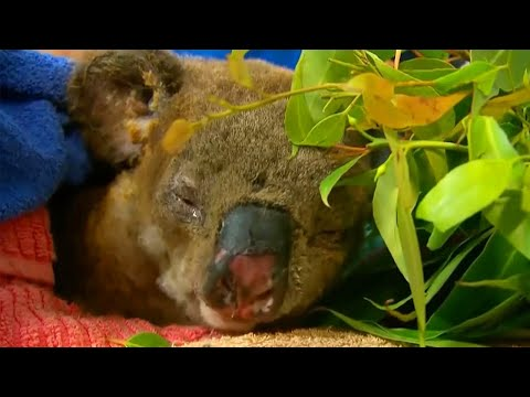 Koala Gets Appetite Back After Being Rescued From Fire