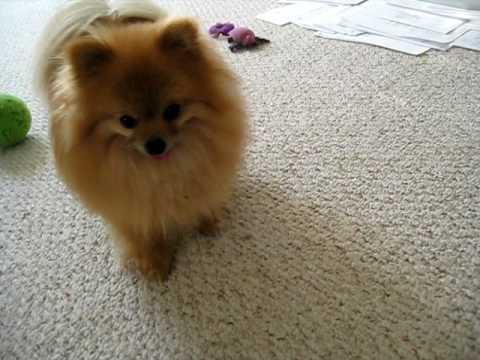 Pomeranian Dog Loves Treats