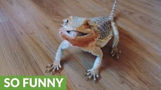 Bearded dragon goes crazy for blueberries thumbnail