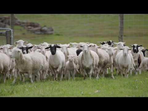 The Western Australian Sheep Industry | Department of Agriculture and Food WA