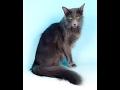Oriental Longhair cat の動画、YouTube動画。