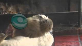 Increíble: mona ayudó a parir a una perra en el zoo de Tacuarembó