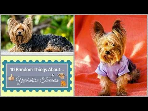10 Random Things About...Yorkshire Terriers
