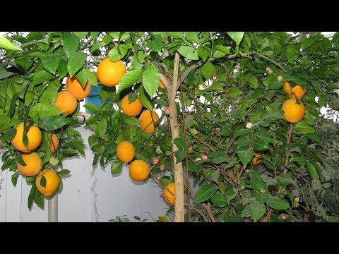 Как подкармливать комнатный лимон, апельсин