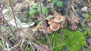 Собираем грибы. Как выглядит опенок зимний, рядовка