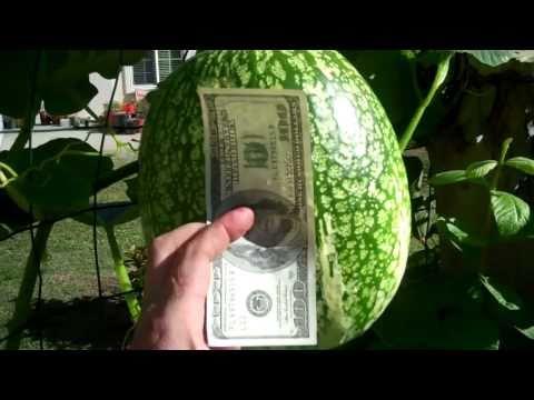 sharks fin melon (Cucurbita ficifolia)