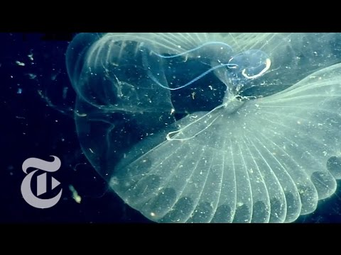 Giant Larvaceans: The Ocean's Natural Filters| The New York Times