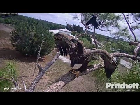 SWFL Eagles  -  Dad Came To Rescue E9 From Black Birds Attack! 4.24.17